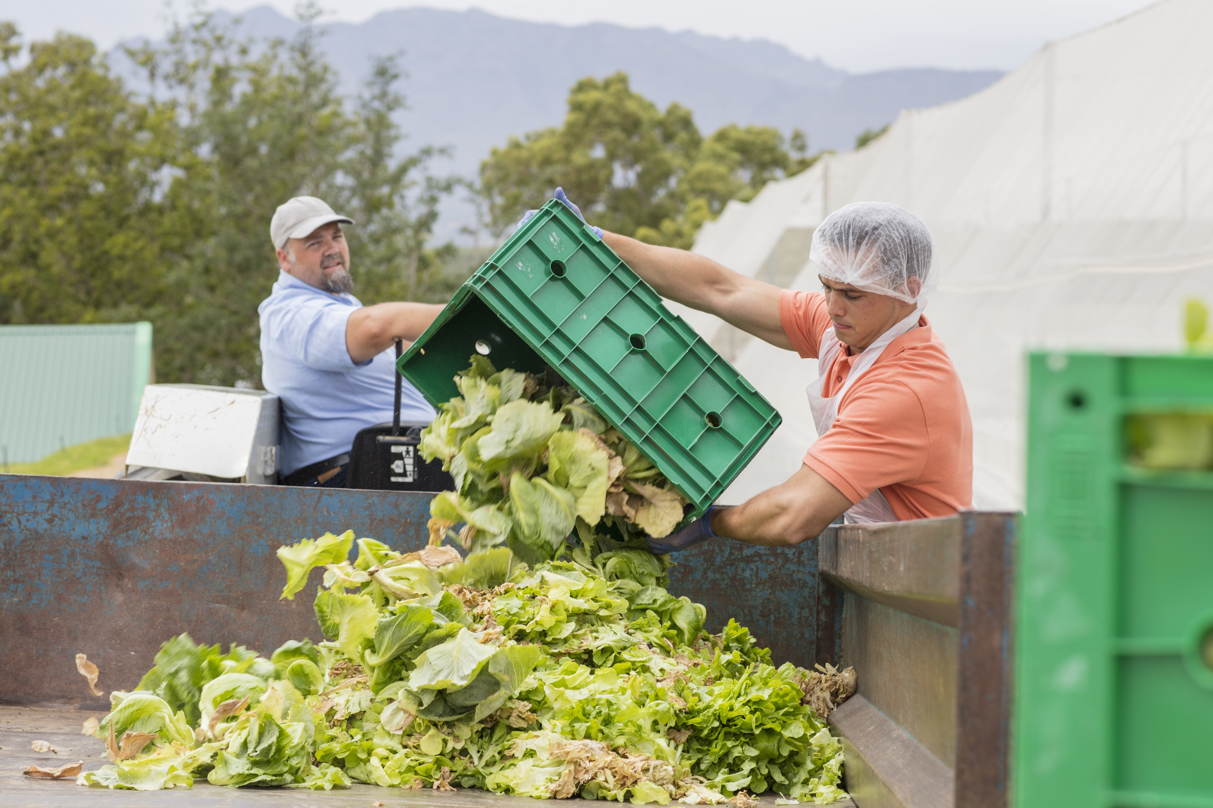 Workers on a farm dumping out old cabbage food waste.
