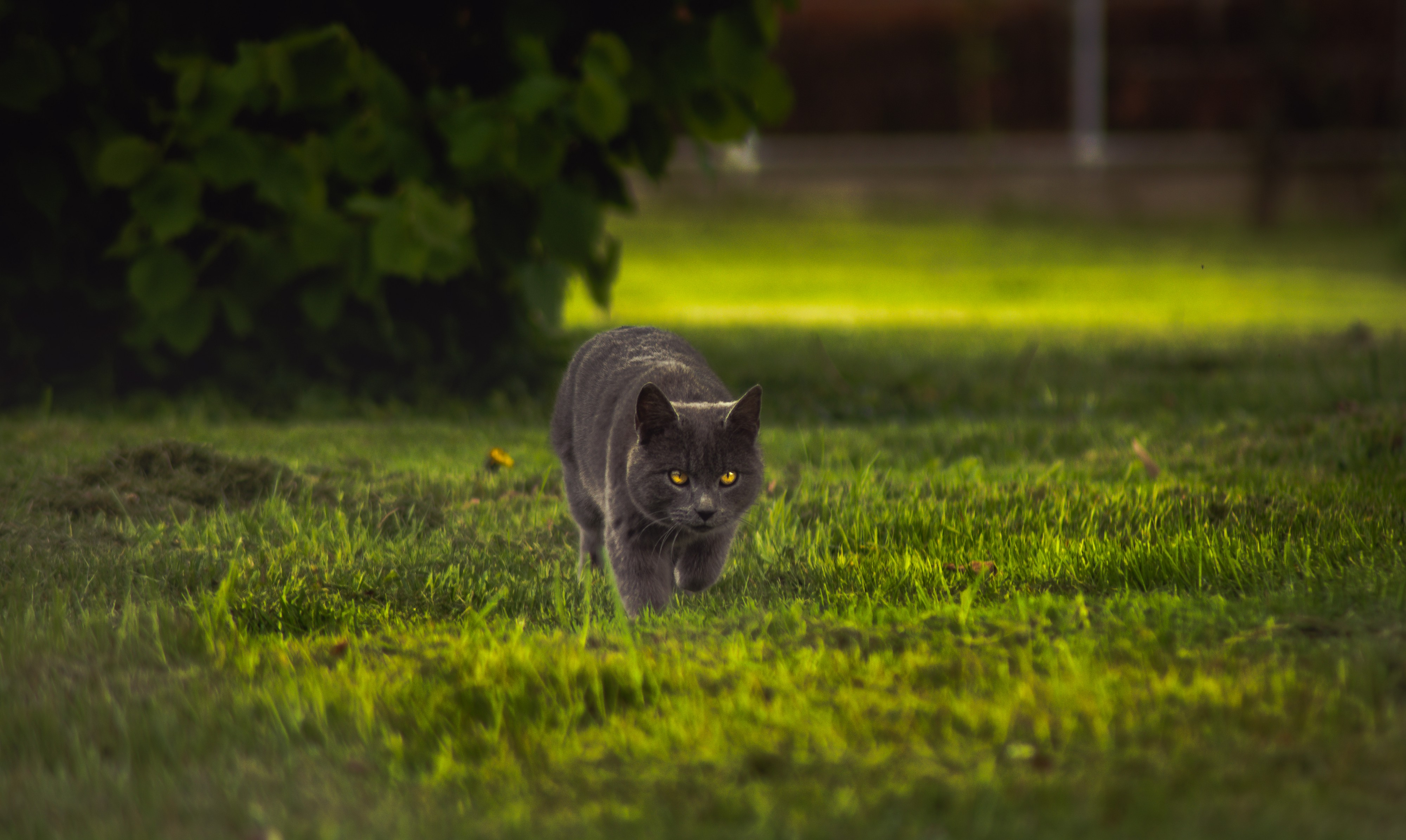 Gray cat with green eyes, walking in grass toward viewer