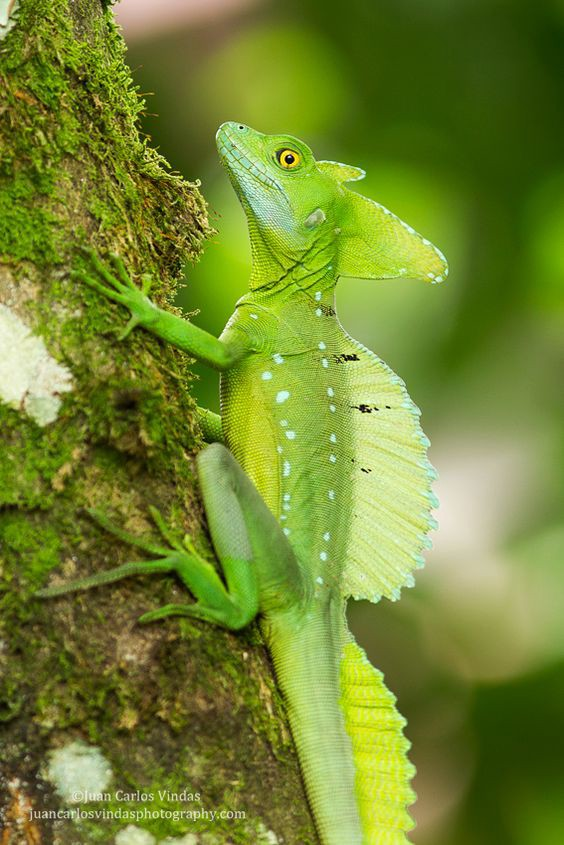 Common Basilisk Lizard