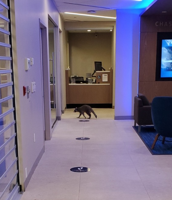 A long shot of an office hallway with a raccoon slinking towards another open room on the far end of the room