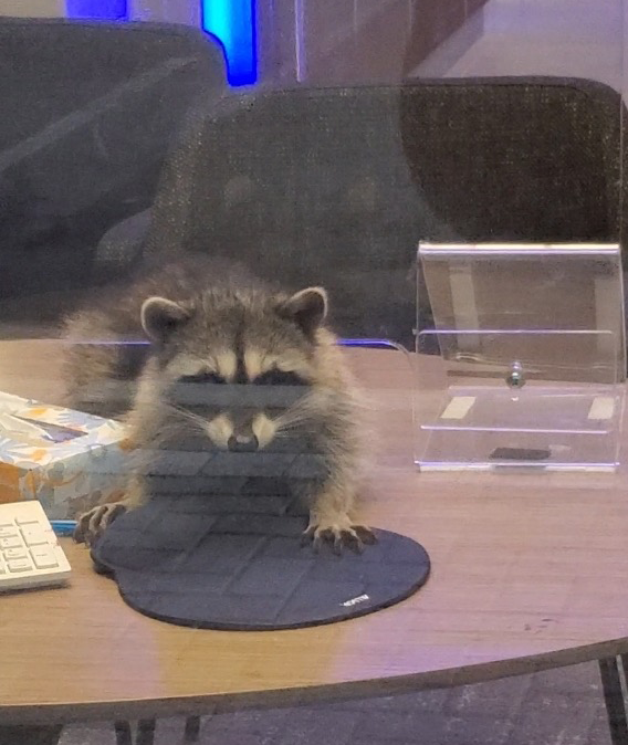 A closer shot of one raccoon seen through the office's plexiglass walls, staring towards the camera with a paw on a mousepad
