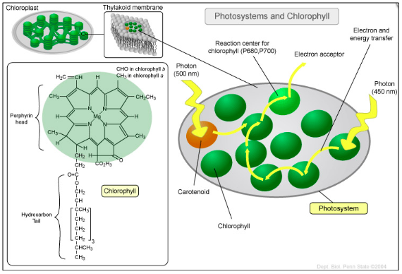 The light-harvesting photosystem within a chloroplast of a plant.