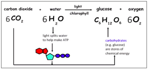 Chemical reaction of photosynthesis.