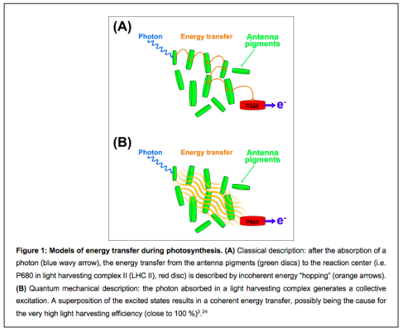 Schematic view of (A) classical versus (B) quantum behaviour of energy transfer during photosynthesis.