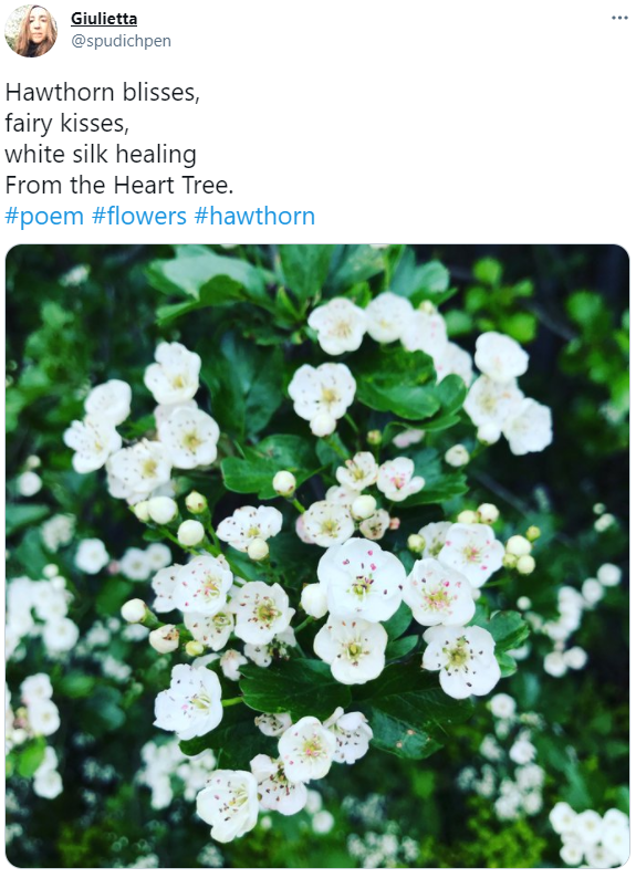 A picture of hawthorn blossom