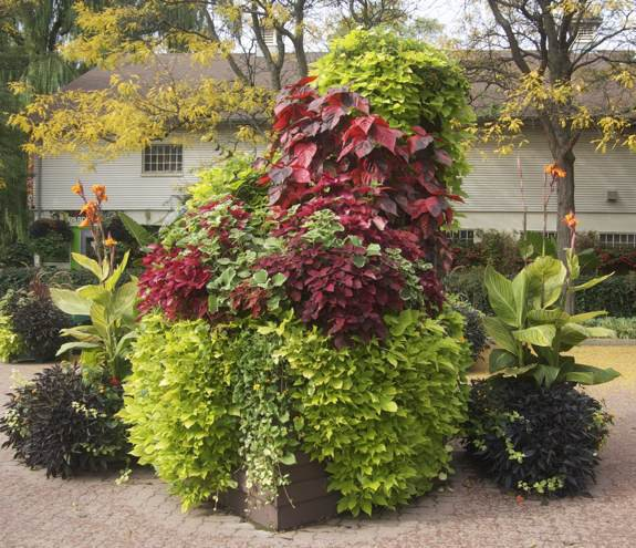 Sweet Potato Vines In Containers