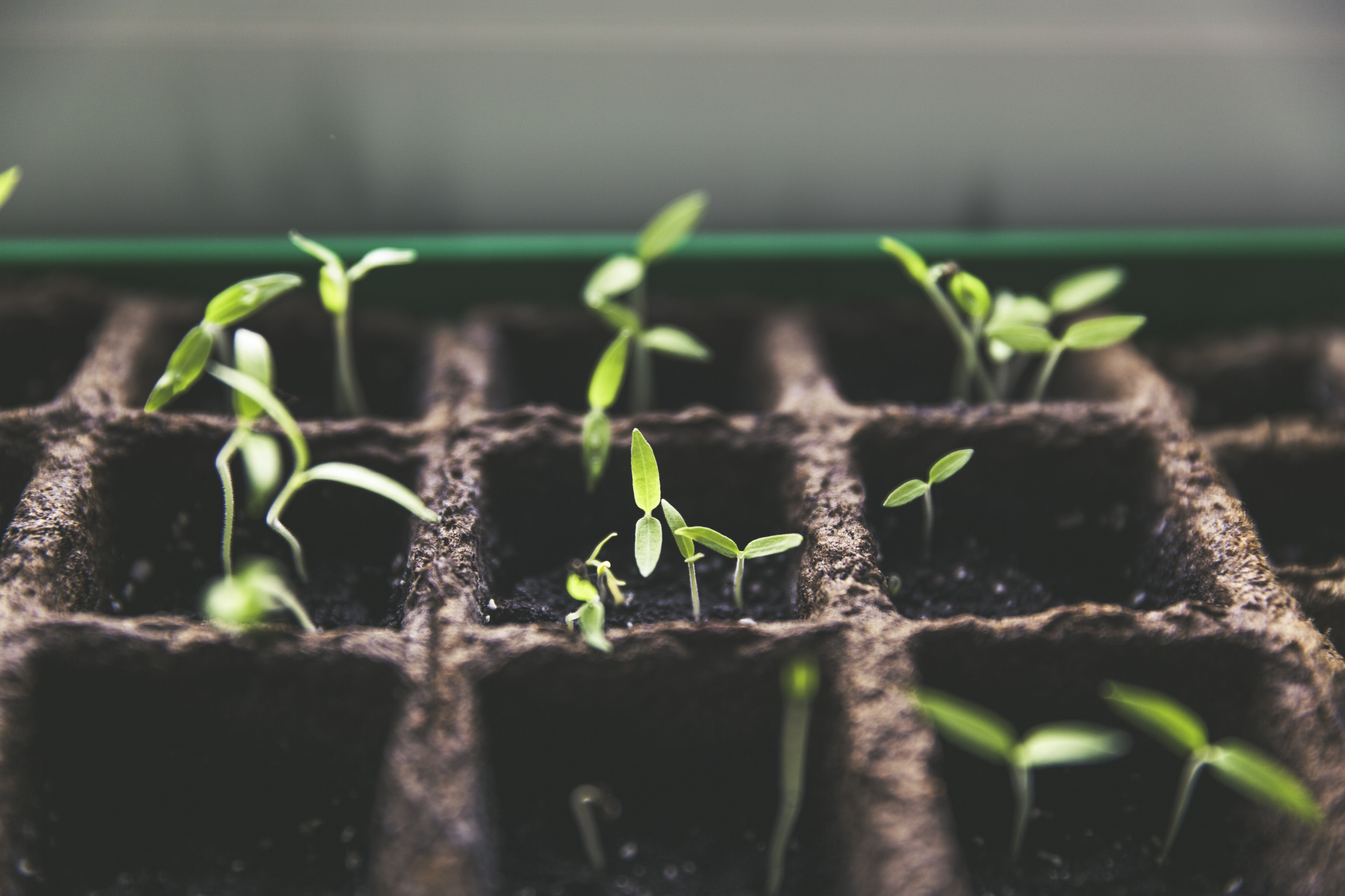 Green sprouts grow in planters in a greenhouse.