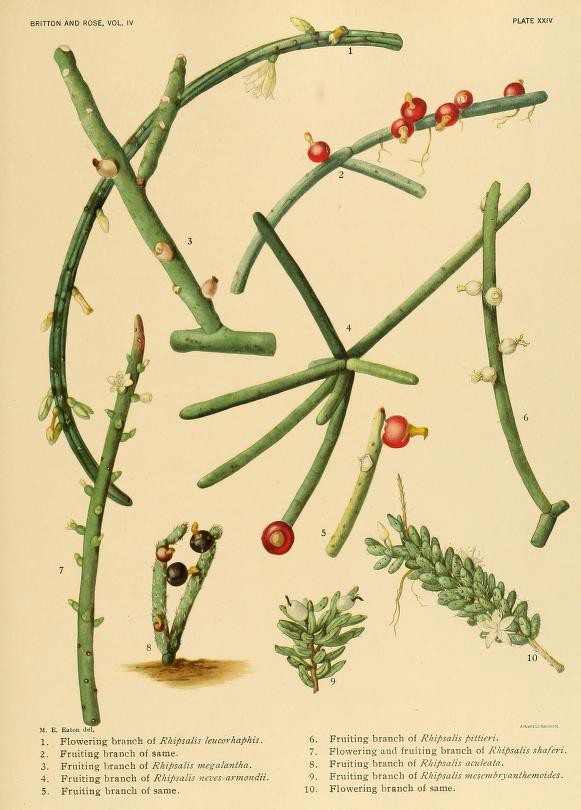 An old botanical illustration of various species of Rhipsalis, a tiny cactus.