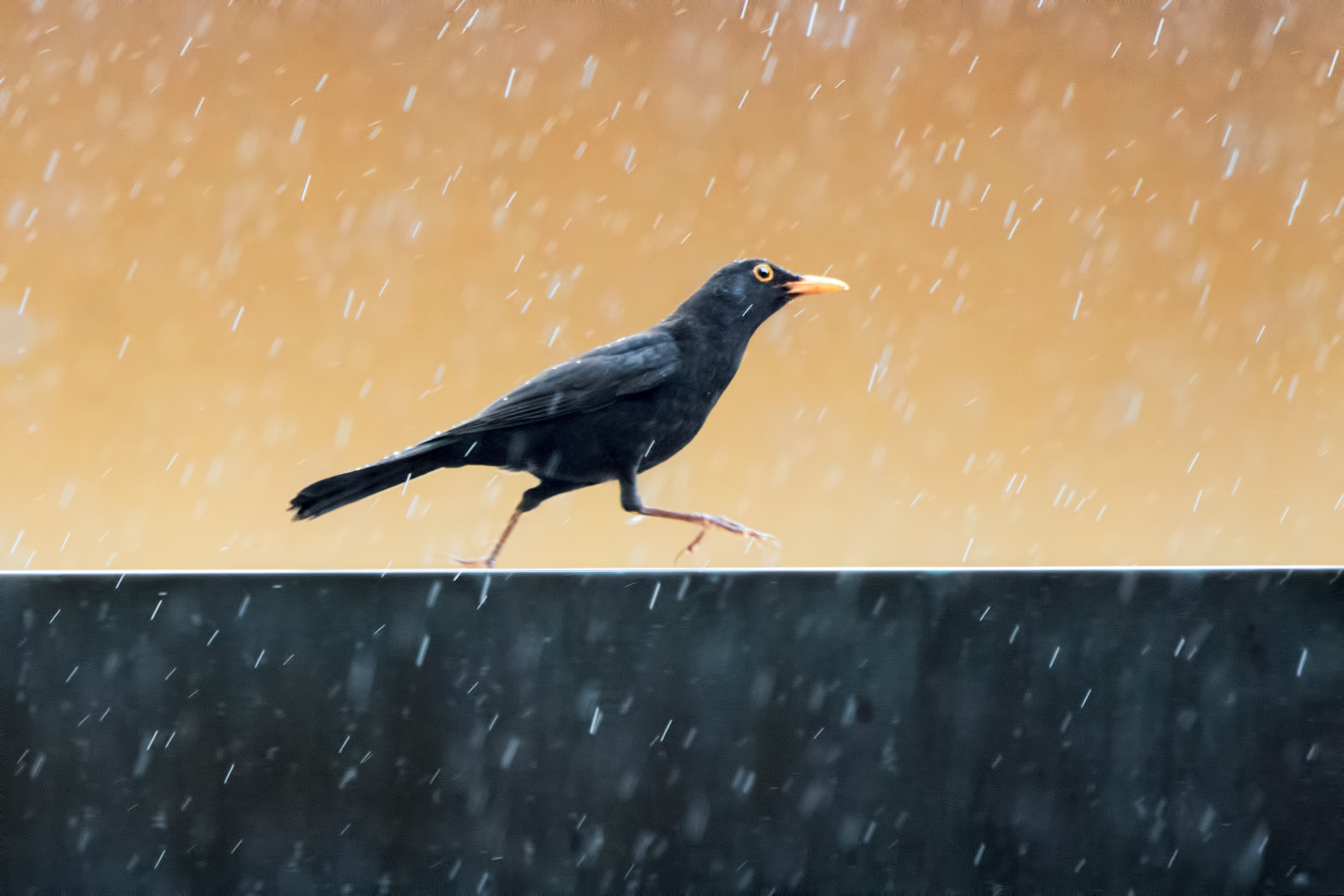 A blackbird seems to dance or run along a fence in the rain, droplets pictured, and his orange-capped eye stands out