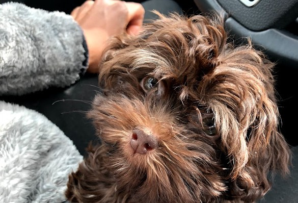 Brown puppy looking up next to black car steering wheel
