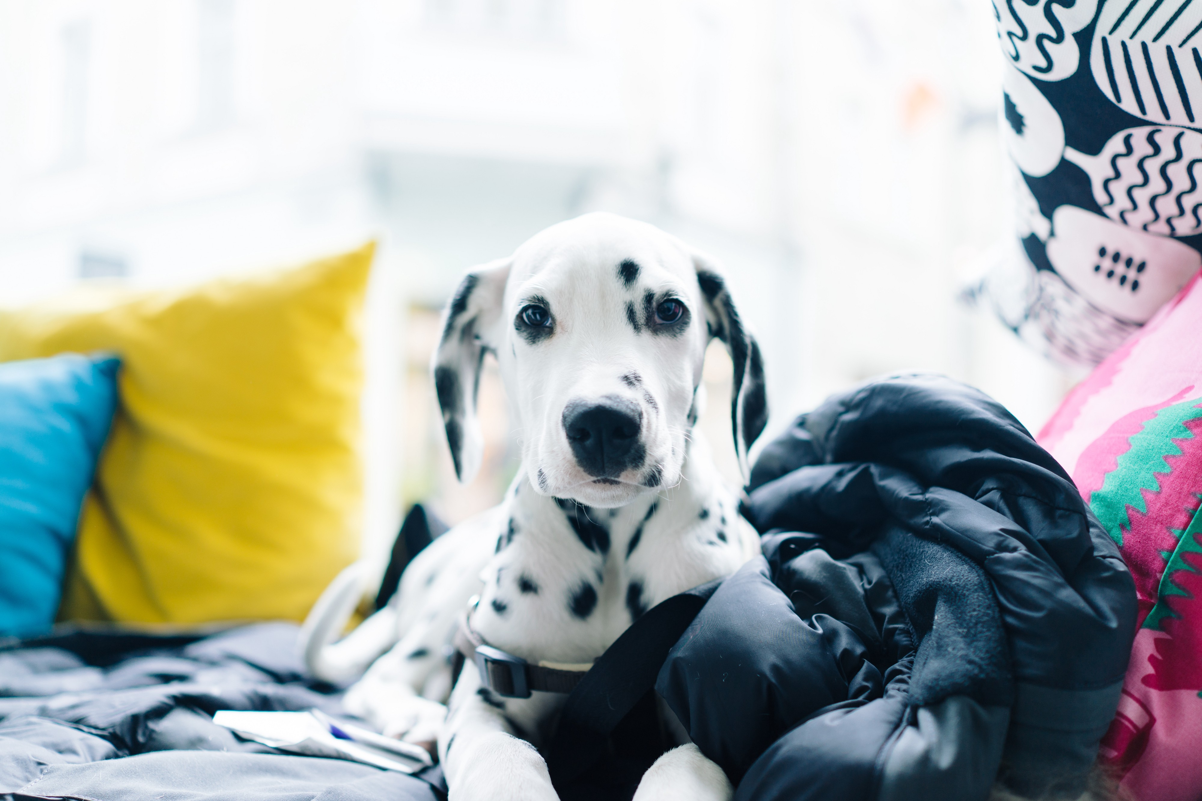 Life With A Dalmatian I Have A Two And A Half Year Old By Marit Martin Medium