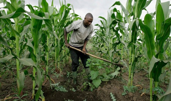 Image result for Images of maize farm