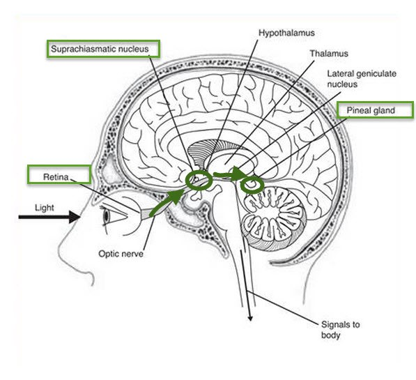 The Entire Function of the Pineal Gland - The Human Origin