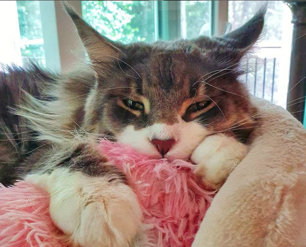 A sleepy brown Maine Coon with a white nose and paws lounging in a cat bed in front of a sliding glass door.