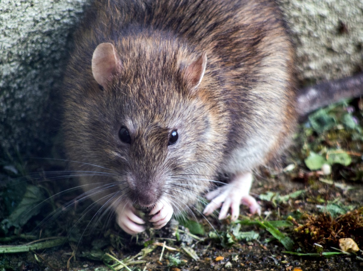 San Francisco Is the Fifth 'Rattiest' City in America