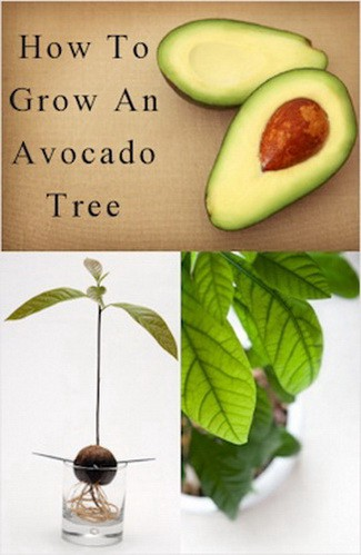 how to plant an avocado tree sara belami medium. Black Bedroom Furniture Sets. Home Design Ideas