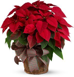 Poinsettia The Christmas Flower And The Racist History Behind La Cuetlaxochitl By Three Sonorans Tson News By Three Sonorans Medium