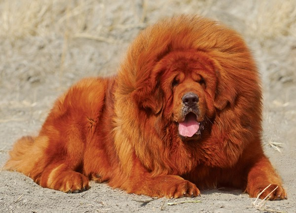 Top 10 Worlds Most Expensive Dog Breeds for 2019