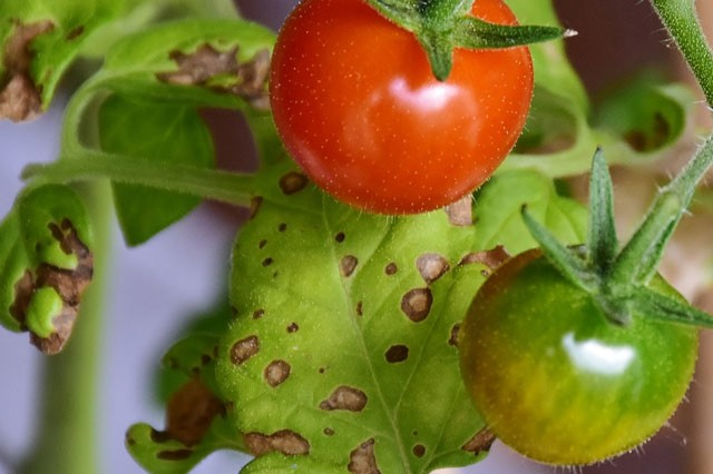 Identify and Treat Tomato Blight and Leaf Spot - Gardening