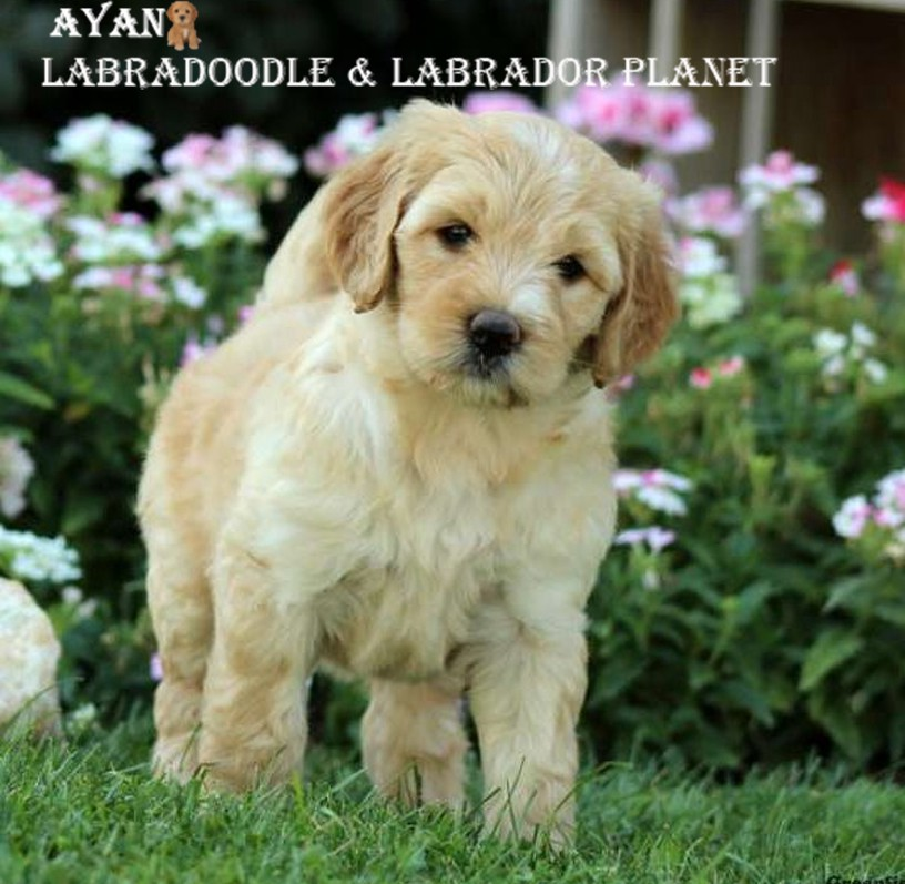 Fall in Love With The Puppies by Obtaining The Labradoodle Breeds