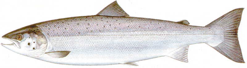 How does an Atlantic salmon differ from a Pacific salmon?