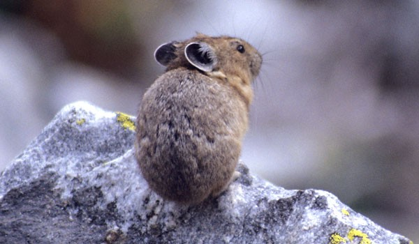 Looking like a furry potato with gray, round ears, the pika sits on a rock and gazes into the distance pondering its cuteness