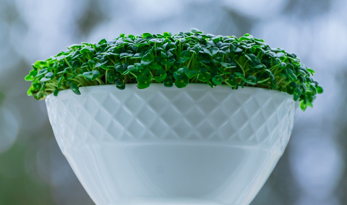 How We Grow Microgreens In Winter Cyril Johns Medium