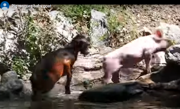 Pig rescues goat fake video on You Tube: https://www.youtube.com/watch?time_continue=4&v=g7WjrvG1GMk