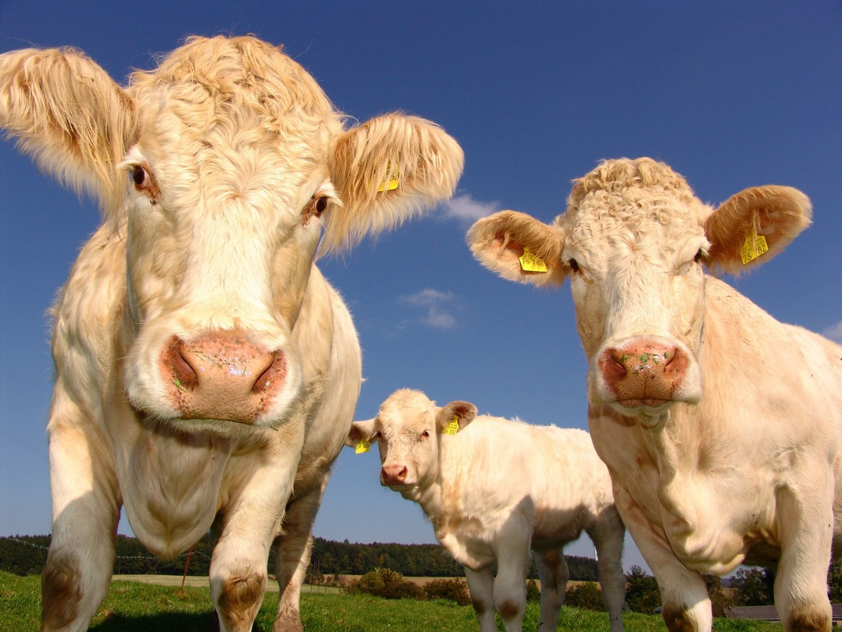 Debunking the methane myth: Why cows aren't responsible for climate change