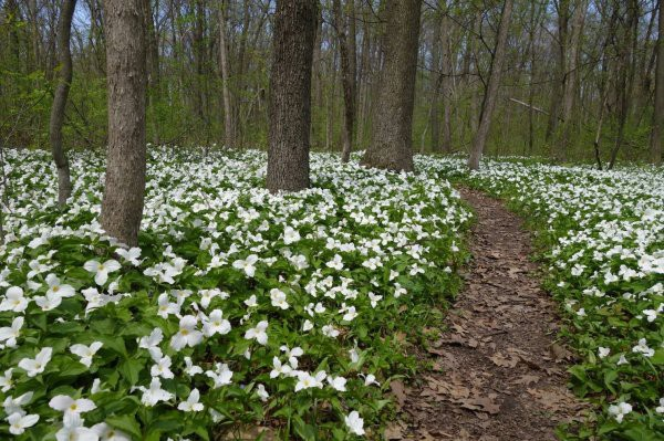 A bloom of trilliums in the woods.