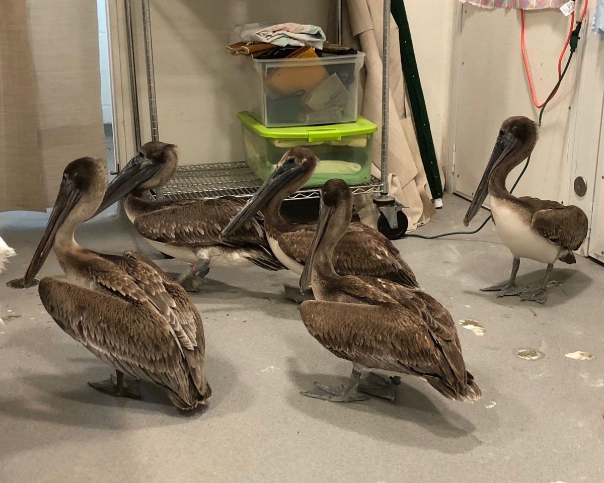 10 pelicans admitted with hook and line injuries in one week