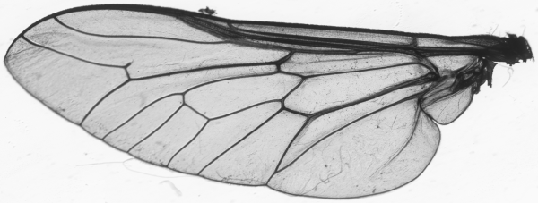 A fly's wing
