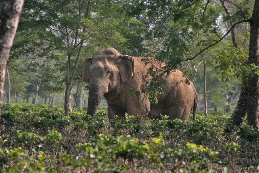 Assam gives Birth to the World's first Elephant Friendly Tea Garden | by  Shyam Sunder Reddy | Medium