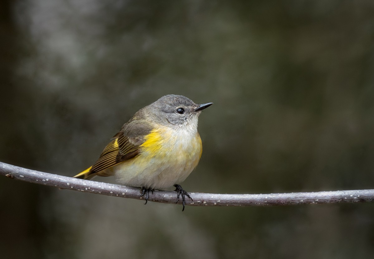 The Art of The Bird — Warblers.