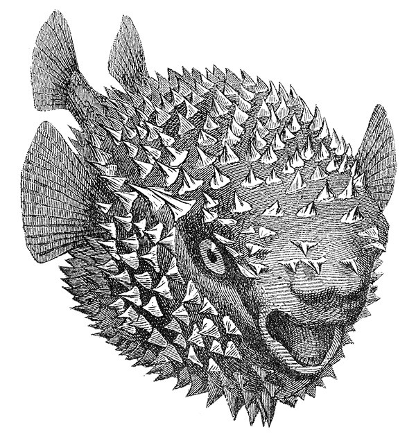 A blowfish image from the Dover Pictorial Archive