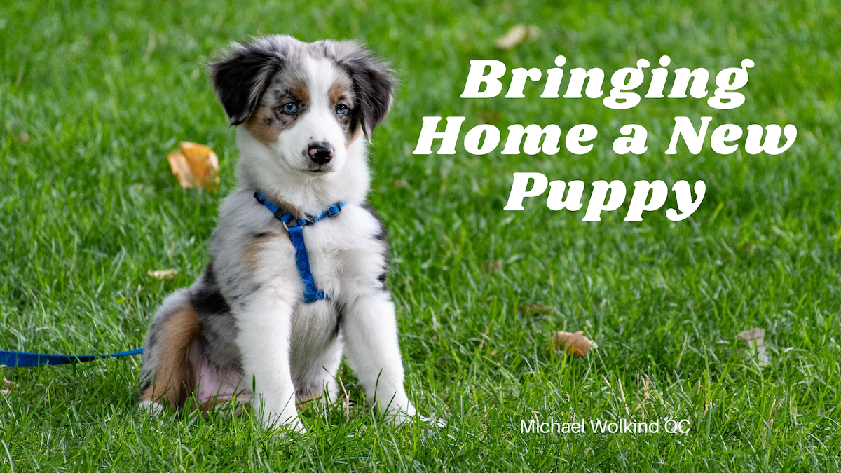 Bringing Home A New Puppy What A Joyous Occasion Is There By Michael Wolkind Qc Medium