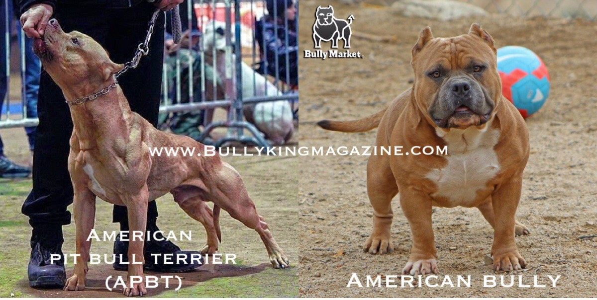 History Of The American Pit Bull Terrier Amp The Evolution