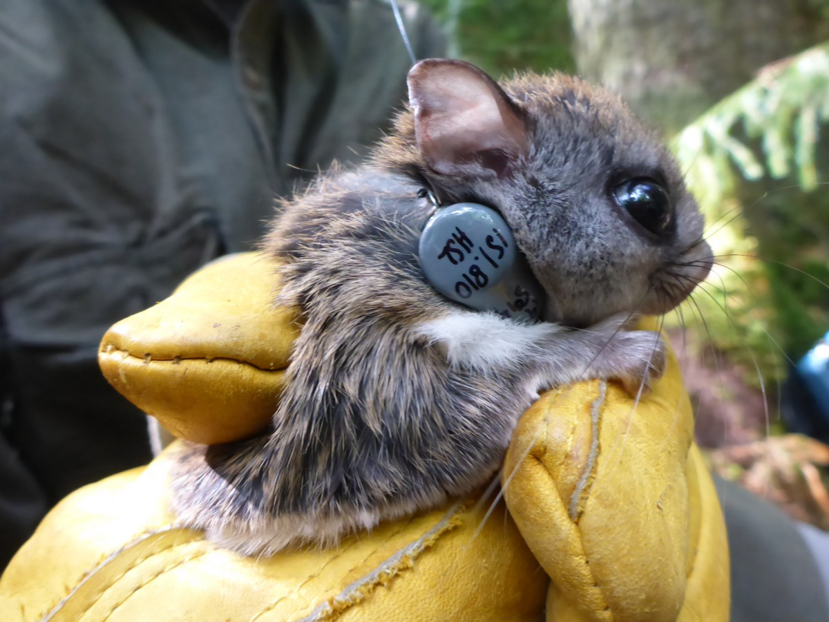 A brighter future for West Virginia's rare flying squirrel