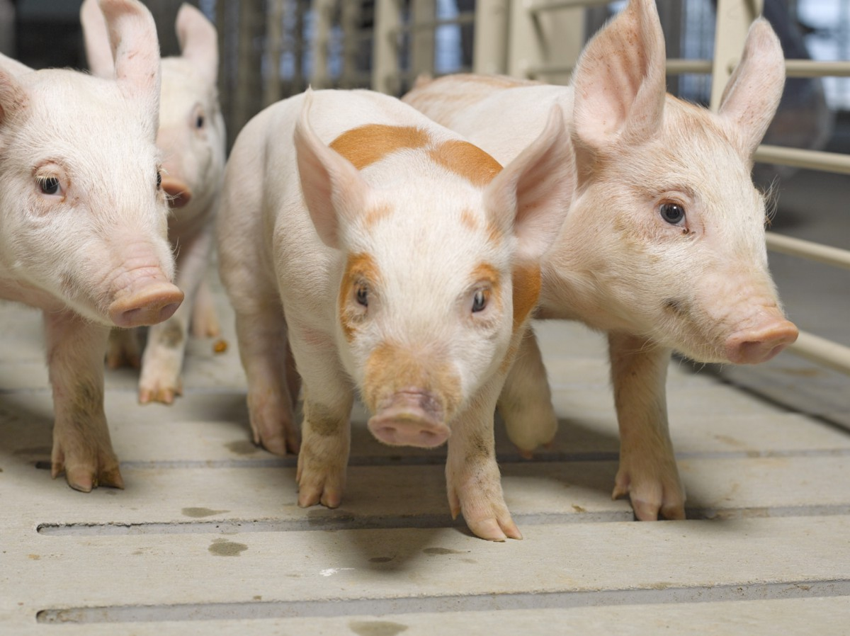 15 Trivia Winning Facts About Pigs - Real Pig Farming