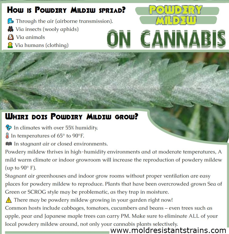Powdery Mildew on Cannabis (How to Cure Organically)