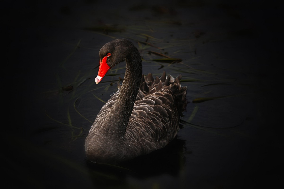Is Tether a Black Swan?