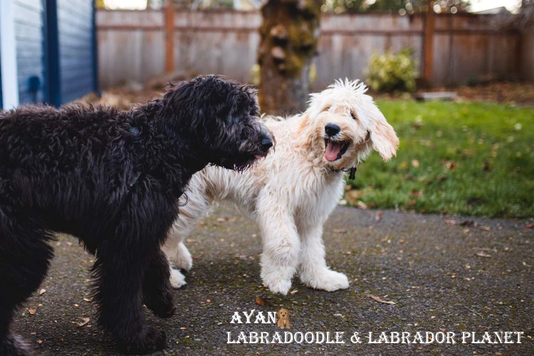 Guidance to The People Those Want to Obtain Labradoodle Puppies