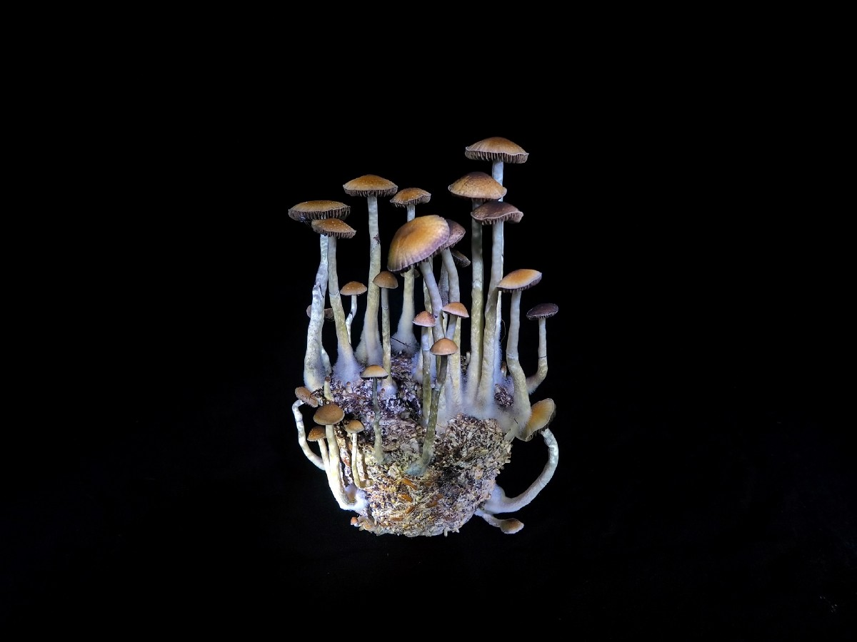 The No-fail Beginners Guide to Growing Psilocybin Mushroom 2