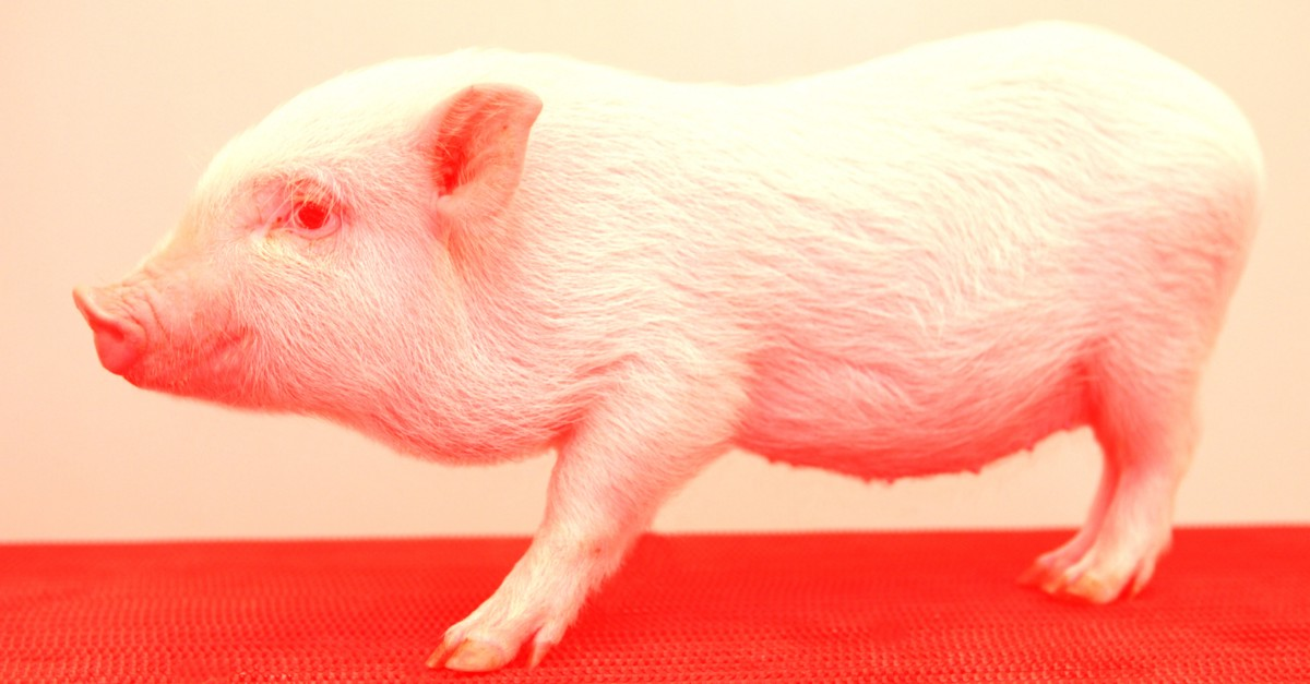 Surgeons Transplanted Pig Skin Onto Humans for the First Time
