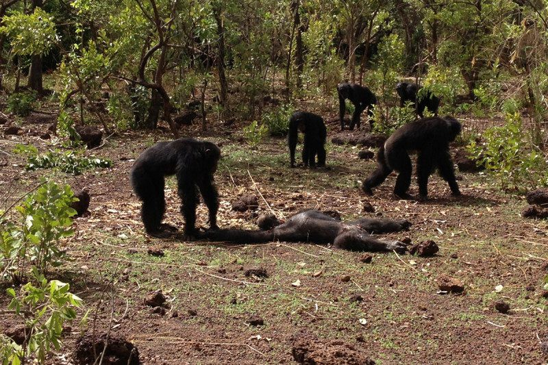 Chimps Beat Up, Murder And Eat Their Tyrant - OMGFacts - Medium