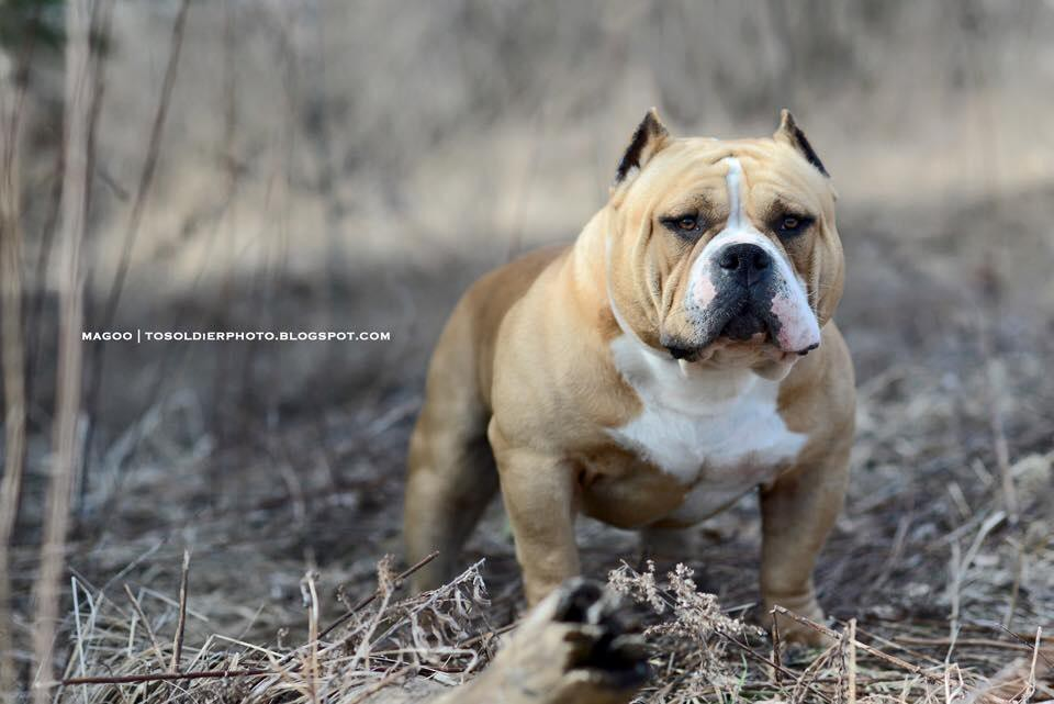 So You Want To Become A Breeder   - BULLY KING Magazine - Medium