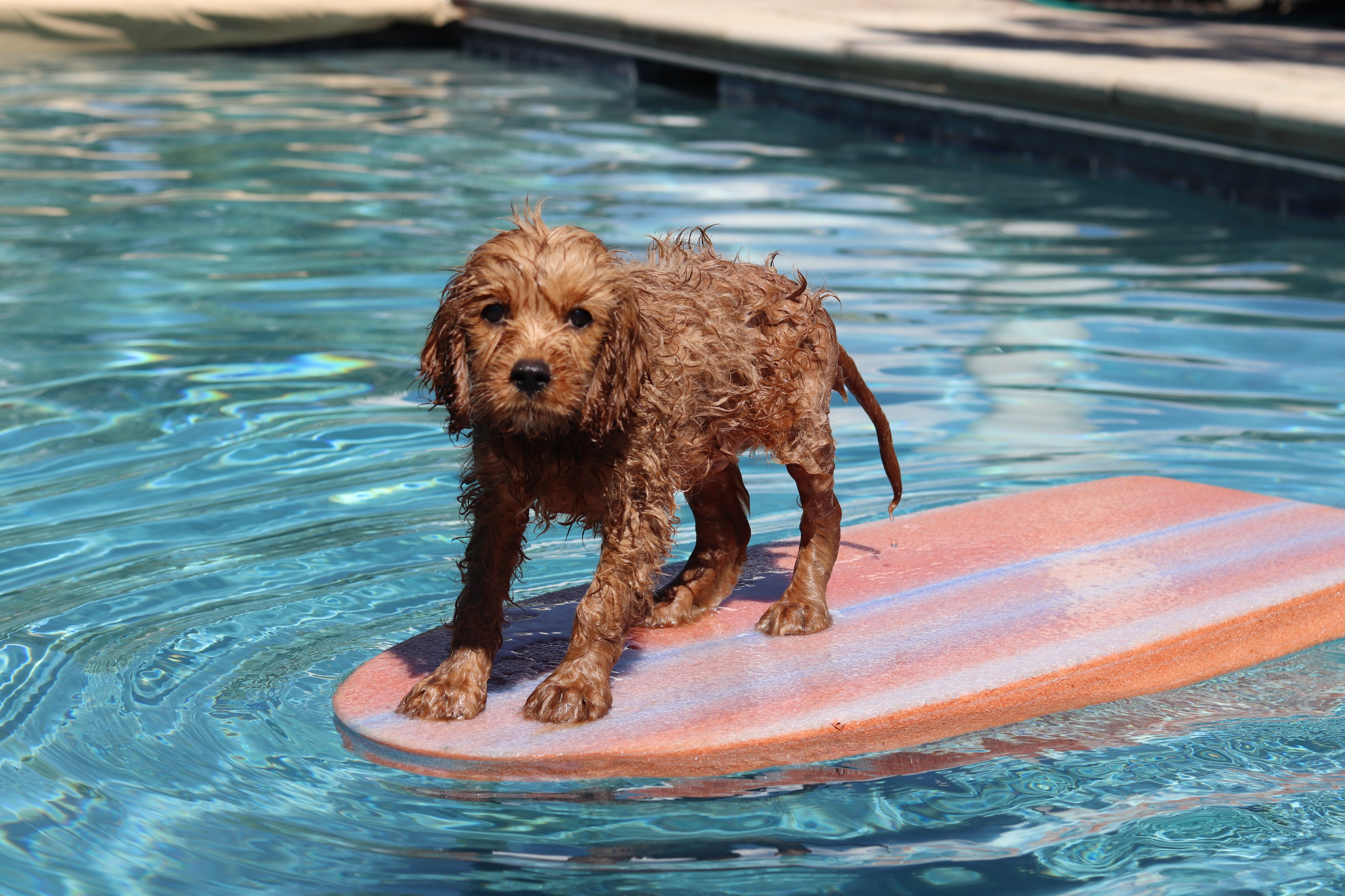 Small red puppy with soaking wet fur standing on a floaty in the pool