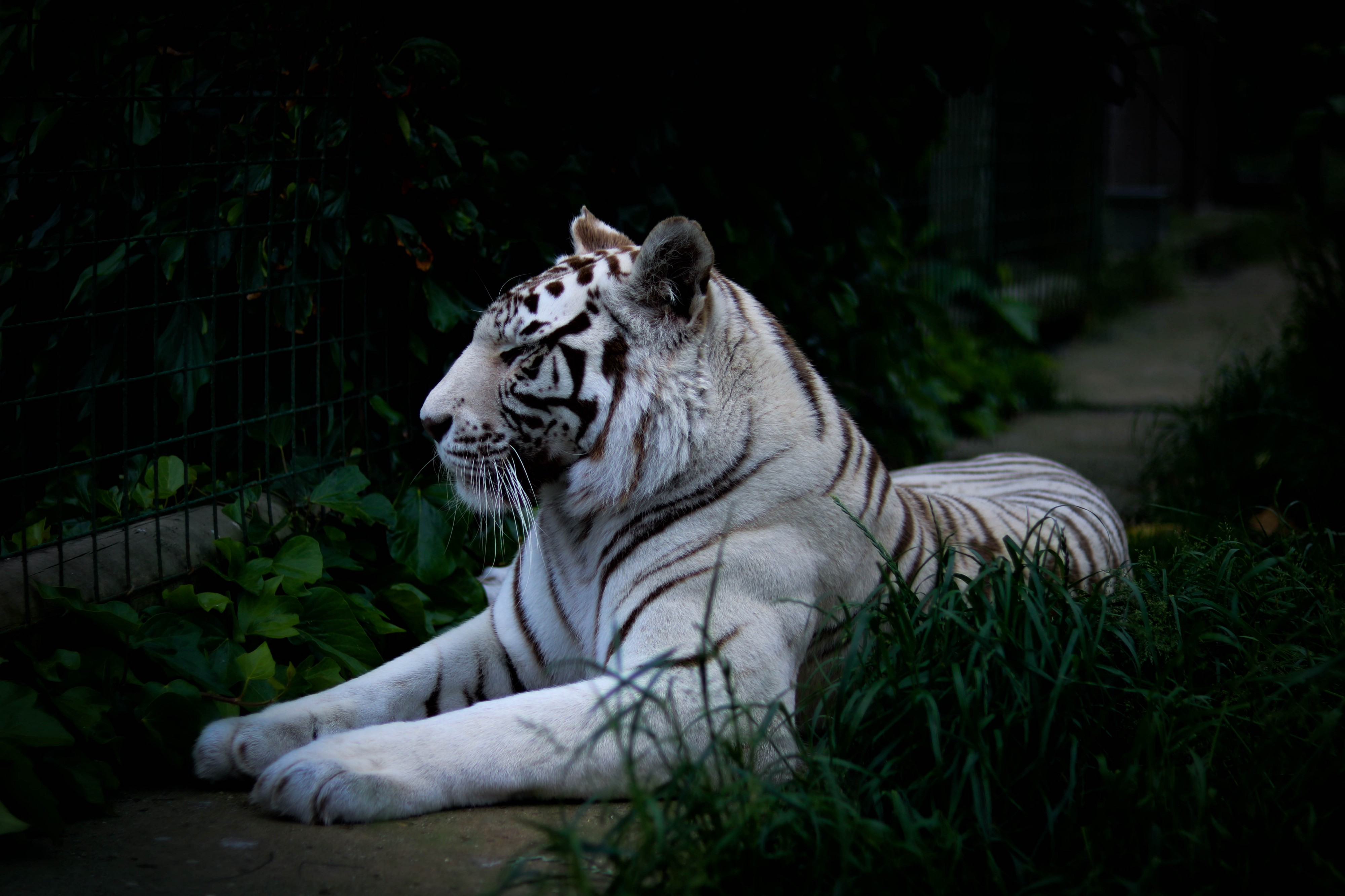 The Tragedy of the White Tiger - Clifton Long Jr  - Medium