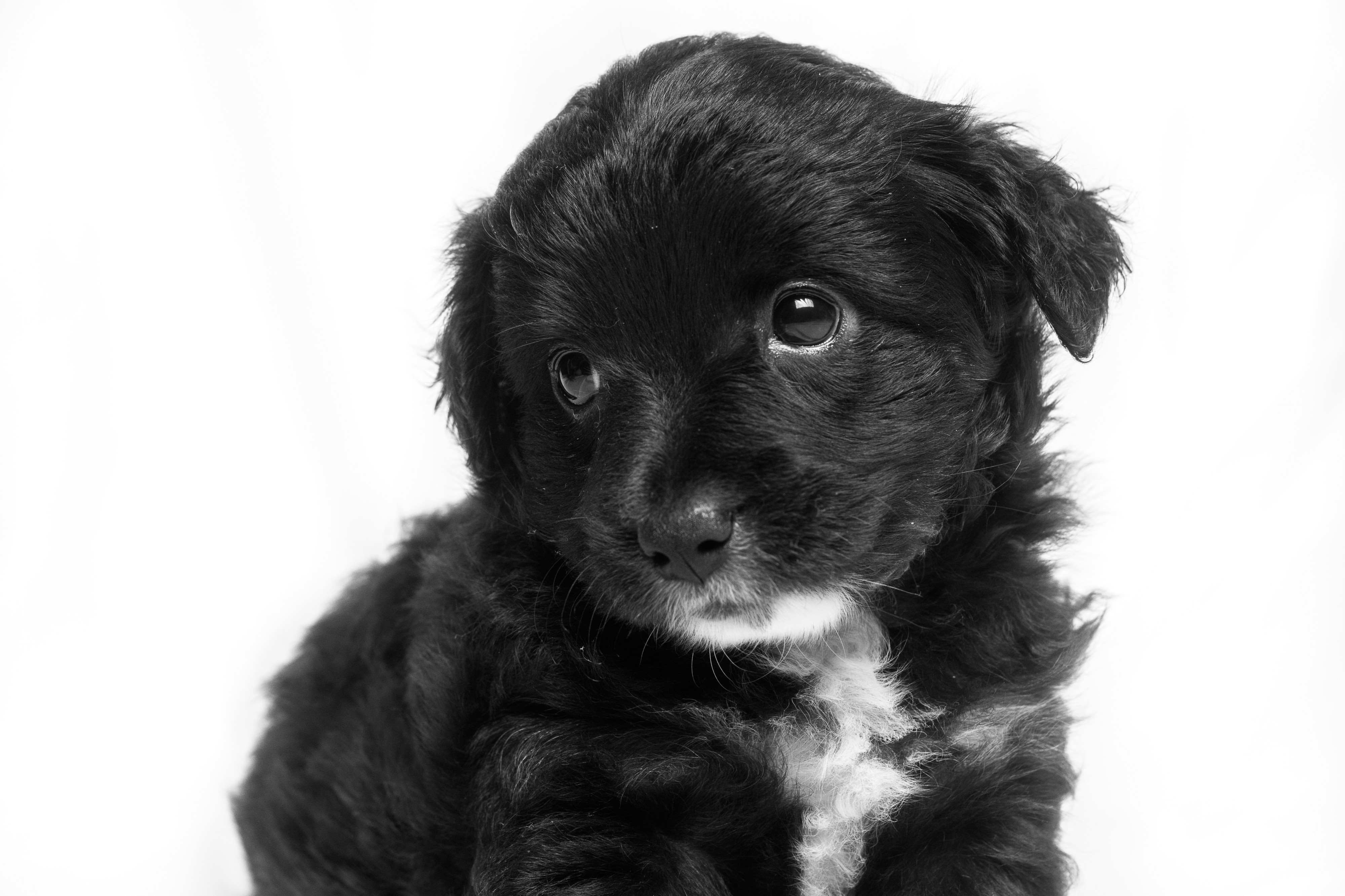 Close up of a little black and white puppy looking up at something with curious eyes