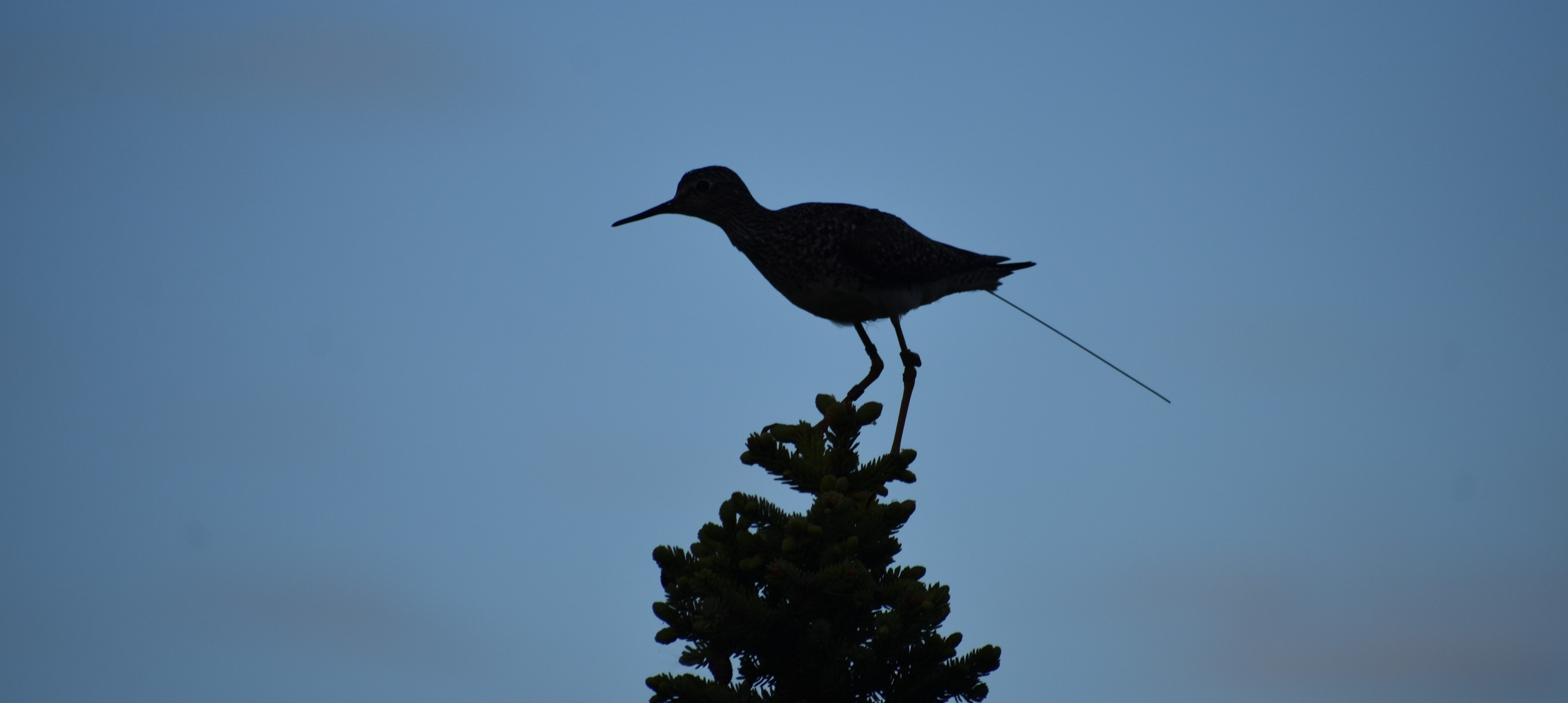 A backlit shorebird with a geolocator tag perches in a spruce tree